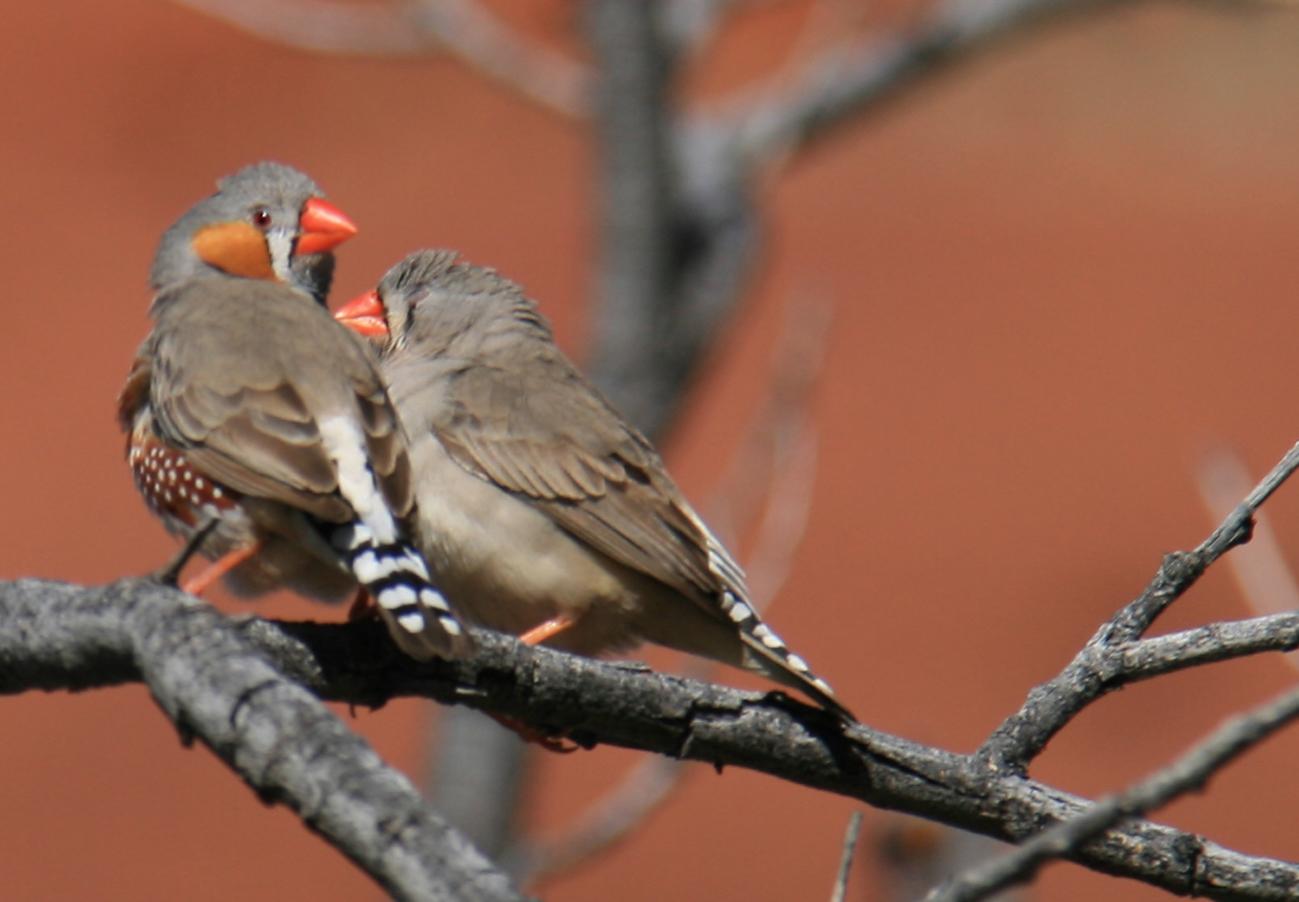 Sur les terres des anangu la d couverte d ulu u et de for Oiseau bec rouge